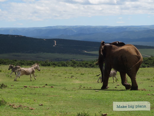 Elephant chases zebra