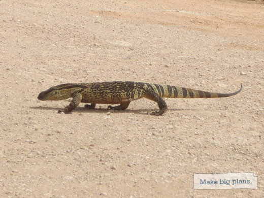 Monitor Lizard in Addo